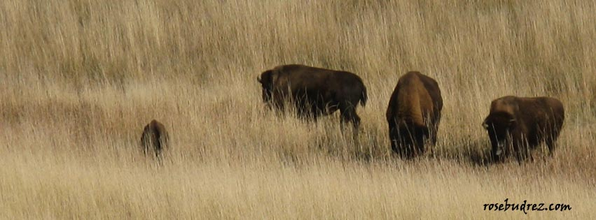 three buffalo in a pasture.